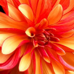 Embrace Change: Image is vivid colored flower w/ many inside petals.