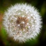 Leader Integrity: Image is white thistle flower.