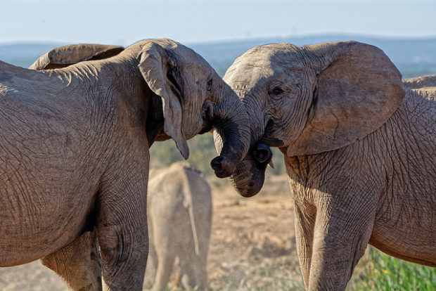 People Skills Transform Accusations: Image is two elephants butting heads.