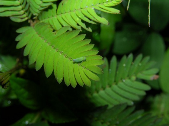 Adaptability: Image is of the plant mimosa pudica.